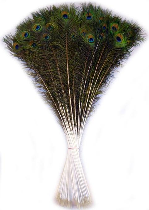 Pfaufedern  ca 75/90 cm- 100 Stck im Bund